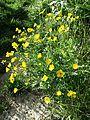 Ranunculus bulbosus sl1.jpg