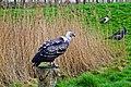 Rapacious in Landgoed Hoenderdaell, Anna Paulowna, The Netherlands.jpg