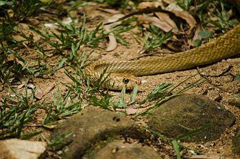 Rat Snake Slithering.jpg