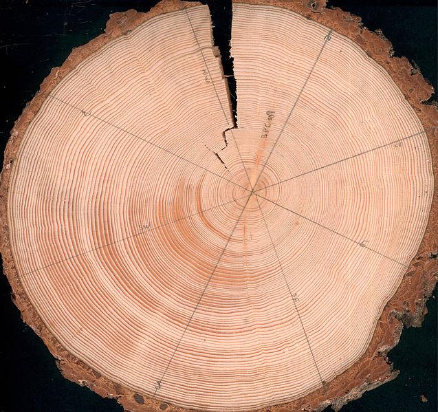 przekój drzewa - datowanie wieku drzewa
