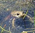 Red-Legged Frog (11953345745).jpg