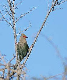 Red-faced Mousebird (Urocolius indicus) (32668807280).jpg