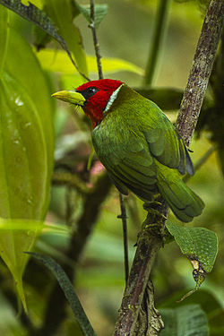 Red-headed Barbet - Colombia S4E3384 (16222727857).jpg