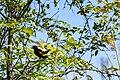 Red-winged blackbird (27478892867).jpg