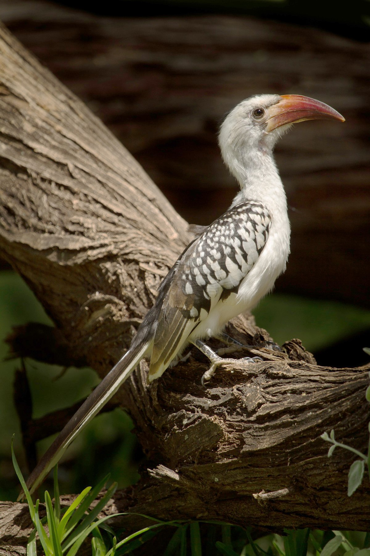 Red-billed Hornbill - Wikipedia