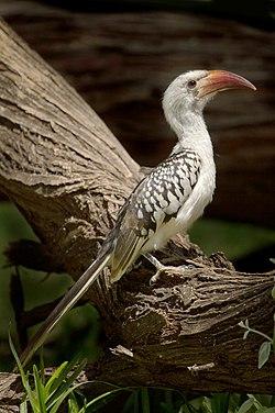 Red Billed Hornbill.jpg