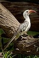 Red Billed Hornbill.jpg