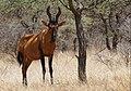 Red Hartebeest (Alcelaphus caama) (44348614880).jpg