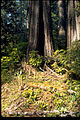 Redwood National Park REDW2151.jpg