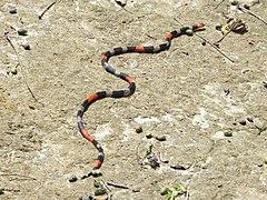 Reserva do Patrimônio Natural Frei Caneca Mauricio Cabral Periquito (1) Micrurus ibiboboca 24-01-2015.jpg