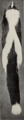 Revision of the skunks of the genus Chincha (1901) pl. 1 M. m. mephitis.png