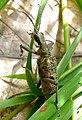 Rhagium inquisitor. Cerambycidae - Flickr - gailhampshire.jpg