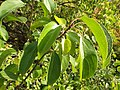 Rhamnus cathartica (8023749854).jpg