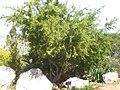Rhamnus lycioides 1a.jpg