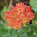 Rhodiola rosea (fruits s7).jpg