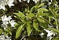 Rhododendron Annamaria B.jpg