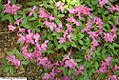 Rhododendron Anthem 2zz.jpg