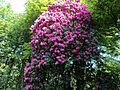 Rhododendron Bush.JPG