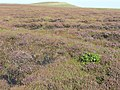 Rhododendron on Soyland Moor - geograph.org.uk - 1483610.jpg