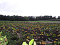 Rhubarb Patch - geograph.org.uk - 59495.jpg