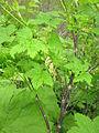 Ribes japonicum 1.JPG