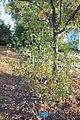 Ribes sanguineum - San Luis Obispo Botanical Garden - DSC06075.JPG