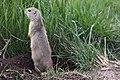 Richardson's Ground Squirrel (6128845571).jpg