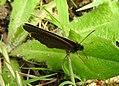 Ringlet butterfly (28311901185).jpg