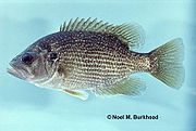 Roanoke Bass