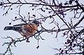 Robin (11283606324).jpg