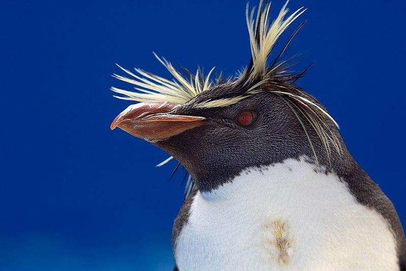 File:Rockhopper Penguin head.jpg