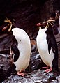 Rockhopper Penguins at Edinburgh Zoo - geograph.org.uk - 671903.jpg