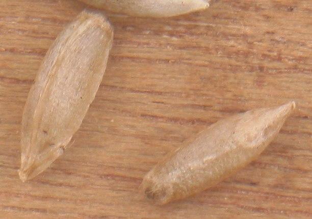 Rogge korrels Secale cereale