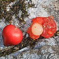 Rohdea japonica (seed).jpg