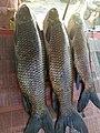 Rohu fish- Kurriro, Danbiro Machi of Indus River.jpg