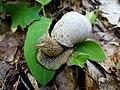 Roman snail (Helix pomatia) in natural habitat.jpg