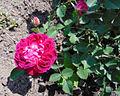 Rosa 'Eugène de Beauharnais', JBM.jpg