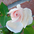 Rosa 'Souvenir de la Malmaison' 2.jpg