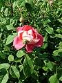 Rosa Benjamin Britten 2019-06-04 5992.jpg