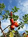 Rosa canina fruit (26).jpg