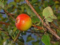Rosaceae - Pyrus pyraster - Perastro-1.JPG