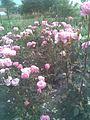 Rosales - Rosa cultivars 6 - 2011.07.11.jpg