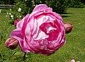 Rosarium Baden Rosa 'Alan Titchmarsh' Austin 2000 02.jpg
