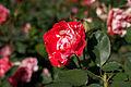 Rose, Orange Splash - Flickr - nekonomania (5).jpg