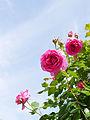Rose, Parade, バラ, パレード, (14672792786).jpg