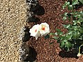 Rose antiche del giardino di Villa Guardatoia.jpg