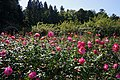 Rose garden of Ryosenji Nara Japan20n.jpg