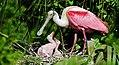 Roseate spoonbill nest.jpg