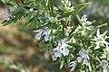 Rosmarinus officinalis Hill Hardy 1zz.jpg