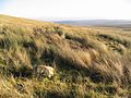 Rough grazing - geograph.org.uk - 297670.jpg